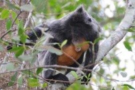 Lutung - Primata Eksotik Penghuni Baru Camp Riset Tim Roberts