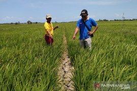 400 hektare sawah di Bangka Selatan kekeringan akibat kemarau panjang