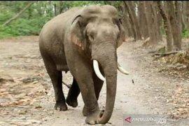Konflik gajah meningkat akibat kebakaran Tesso Nilo