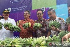 Pisang kepok diekspor ke Malaysia