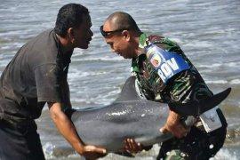 Anggota TNI selamatkan ikan lumba-lumba terdampar di Tulungagung