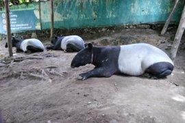 Sempat terjerat, seekor tapir berhasil meloloskan diri  di Taman Nasional Bukit Tigapuluh