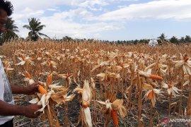Petani di Gorontalo akui hasil panen jagung turun akibat kemarau