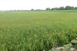 Babulu berpotensi jadi kawasan pertanian di ibu kota baru