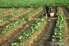 Harga jual tembakau rendah, Pemkab Sumenep diminta perhatikan nasib petani