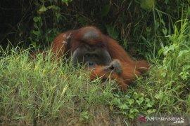 Banyak orangutan menyelamatkan diri ke kebun warga akibat karhutla
