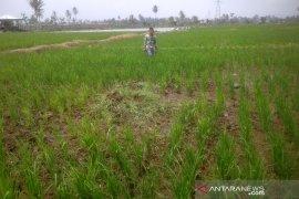 Puluhan hektare lahan pertanian di Rejang Lebong terdampak kekeringan