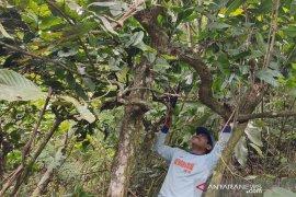 Warga Rejang Lebong kembangkan kopi peninggalan Belanda