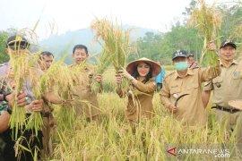 Bupati Landak targetkan setahun petani tiga kali panen padi