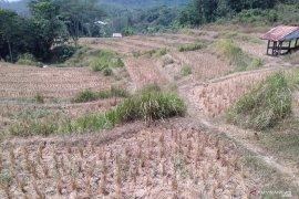 Kemarau, petani di Karawang menunda tanam karena tidak ada air