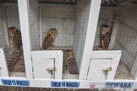 Burung Hantu Penjaga Kebun Kelapa Sawit Page 3 Small