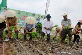 Memanfaatkan lahan Danau Semayang dengan tanam padi