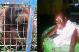 BKSDA selamatkan induk dan bayi orangutan