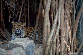 Bandung Zoological Garden berencana memotong rusa untuk pakan macan tutul