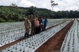 Petani Mukomuko beralih kembangkan tanaman bawang merah