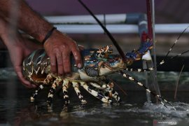 Govt has yet to lift the ban on lobster seed export