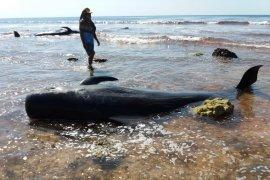 17 ekor paus terdampar di Sabu Raijua, satu dipotong-potong warga untuk dikonsumsi