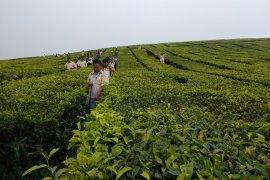 Kerinci akan pecahkan rekor muri petik daun teh terbanyak