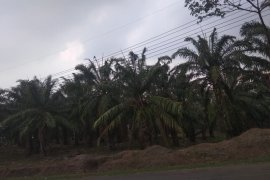 Harga kelapa sawit di Lebak anjlok hanya RP500/kg
