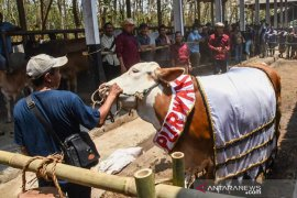 Inseminasi Buatan tingkatkan populasi sapi di Purwakarta