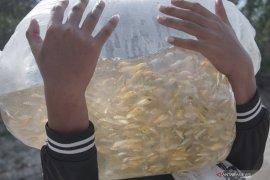 Ribuan benih ikan koi ditebar di Waduk Wonorejo Tulungagung