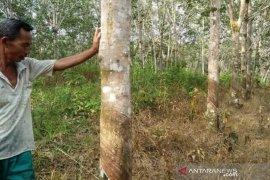 Harga karet tingkat petani di Aceh Barat masih rendah Rp7.000/Kg