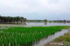 Ini lokasi 240 hektare areal sawah tergenang dampak luapan Sungai Batang Angkola Tapsel