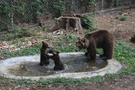 Koleksi beruang cokelat Taman Safari Prigen bertambah