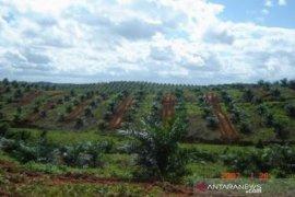 Pemerintah Kabupaten Bangka Selatan akan remajakan 500 hektare sawit masyarakat