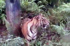 Eksploitasi hutan berlebihan paksa harimau keluar habitat