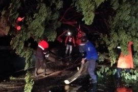BPBD evakuasi 26 pohon tumbang di Jalan Pantura Demak