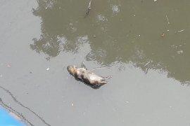 Puluhan bangkai babi berserakan di Sungai Bederah