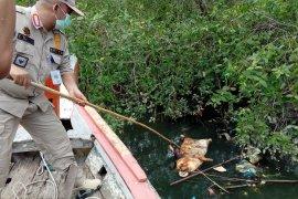 Virus Hog Cholera, penyebab ribuan babi mati di Sumut
