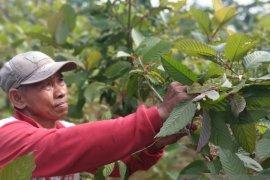 """Presiden Jokowi diminta dengarkan """"rintihan"""" petani kratom"""