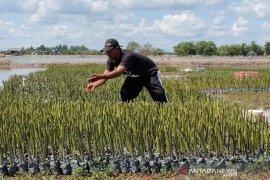 Cegah abrasi pantai, 20 ribu bakau akan ditanam di pesisir Aceh Timur