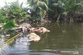 Babi mati akibat virus Hog Cholera di Sumut bertambah jadi 5.800 ekor