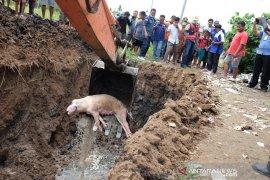 Penguburan bangkai babi (foto)