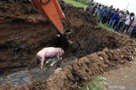 1.753 ekor babi di Kabupaten Kupang mati akibat virus