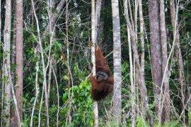 IAR Indonesia translokasikan orangutan ke hutan Sentap Kancang di Ketapang