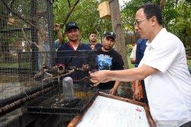 Sepuluh ekor burung jalak suren dilepasliarkan Ancol