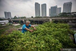 Mendorong warga Jakarta mencintai sayuran