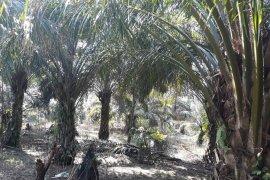 Produksi sawit petani Mukomuko turun drastis