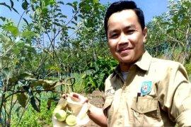 Petani Rejang Lebong kembangkan tanaman apel