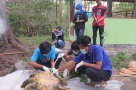 BKSDA belum tahu sebab kematian penyu di dekat PLTU Bengkulu