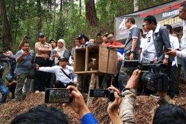 BKSDA: Populasi Elang Jawa di Gunung Ijen turun drastis