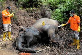 Forum Gajah: Pembunuh gajah di Riau dan Aceh masih satu sindikat