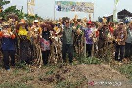 Petani jagung di HST ini raup untung Rp12 juta per hektar
