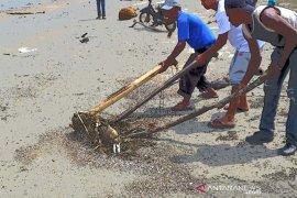 Nelayan temukan bangkai babi di pinggir pantai Bagok Aceh Timur