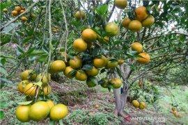 Lima kecamatan di Rejang Lebong jadi pusat pengembangan jeruk gerga