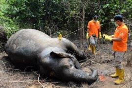 Polres periksa enam saksi terkait kematian gajah di Aceh Timur
